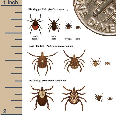 Ticks common in Granville Ohio