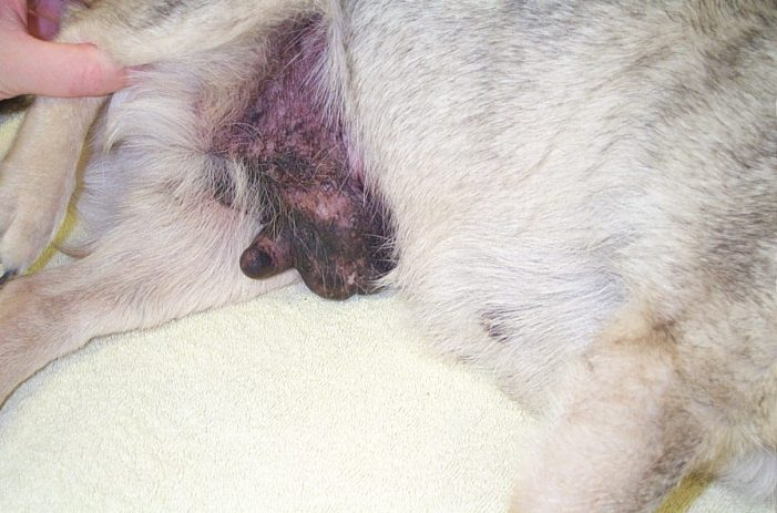 mammary tumor in a dog